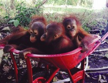 ORANGUTAN RESCUE: BACK TO THE WILD